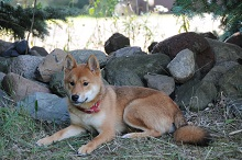 Tonka (Shiba Inu) - Boot Camp Level III. Dog Training