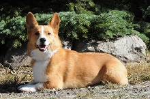 Wally (Corgi) - Obedience Level II. Dog Training