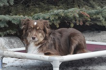 Austin (Australian Shepherd) - Boot Camp Level III. Dog Training