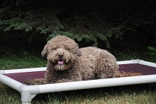 Bean (Lagotto Romagnolo) - Boot Camp Level I. Dog Training