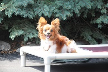 Betsy (Papillon) - Boot Camp Level II. Dog Training