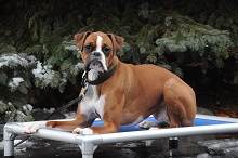 Bruno (Boxer) Boot Camp Level II. Dog Training