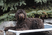Callie (Labradoodle) - Boot Camp Level I. Dog Training
