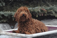Cinnamon (Goldendoodle) - Boot Camp Level I. Dog Training