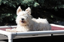 Co co (Westie) - Boot Camp Level II. Dog Training