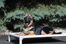 Driver (German Shepherd Dog) - Boot Camp Level II. Dog Training