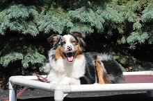 Ginny (Australian Shepherd) - Boot Camp Level II. Dog Training