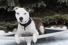 Gucci (Pitbull Terrier) - Boot Camp Level III. Dog Training
