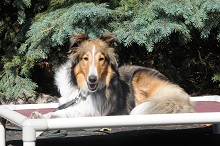 Indy (Sheltie) - Boot Camp Level II. Dog Training
