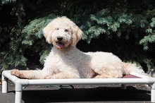 Jack (Labradoodle) - Puppy Camp Level II. Dog Training