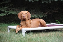 Jovi (Vizsla) - Boot Camp Level I. Dog Training