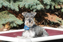 Kaos (miniature Schnauzer - Boot Camp Level III. Dog Training