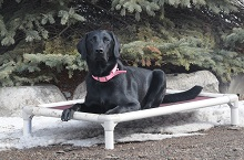 Kenzie (Labrador Retriever) - Boot Camp Level II. Dog Training