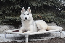 King (Siberian Husky) - Boot Camp Level III. Dog Training