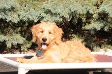 Kipling (Goldendoodle) - Puppy Camp Level I. Dog Training