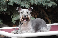 Kola (miniature Schnauzer - Boot Camp Level III. Dog Training