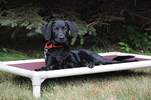 Lady (Labrador Retriever) - Puppy Camp Level I. Dog Training