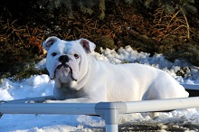 Layla (English Bulldog) - Boot Camp Level III. Dog Training