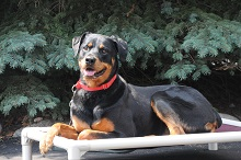 Lily (Rottweiler) - Boot Camp Level II. Dog Training