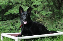 Lincoln (German Shepherd) - Boot Camp Level II. Dog Training