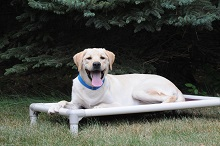 Luke (Labrador Retriever) - Boot Camp Level II. Dog Training