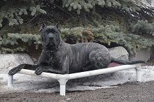Mac (Presa Canario) - Boot Camp Level II. Dog Training