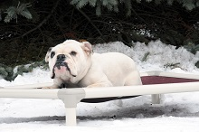 Mack (English Bulldog) - Boot Camp Level III. Dog Training