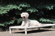 Maddie (Goldendoodle) - Boot Camp Level II. Dog Training