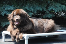 Maggie (Chocolate Newfoundland) - Boot Camp Level III. Dog Training