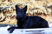Mato (German Shepherd) - Boot Camp Level III. Dog Training