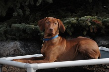 Miles (Vizsla) - Puppy Camp Level I. Dog Training