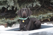 Mojo (German Shorthair Pointer) - Boot Camp Level I. Dog Training
