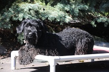 Molly (Giant Schnauzer) - Boot Camp Level III. Dog Training