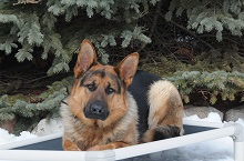 Nico (German Shepherd) - Boot Camp Level III. Dog Training