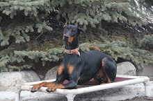 Nova (Doberman Pinscher) - Boot Camp Level III. Dog Training