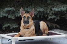 Pavlov (German Shepherd) Boot Camp Level I. Dog Training