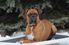 Rufus (Boxer) - Boot Camp Level I. Dog Training