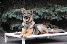 Shay (German Shepherd dog - Boot Camp Level II. Dog Training