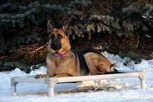 Stella (German Shepherd) - Boot Camp Level II. Dog Training