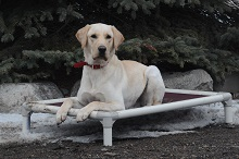 Ted (Labrador Retriever) - Boot Camp Level III. Dog Training