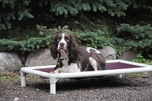 Theo (Springer Spaniel) - Boot Camp Level II. Dog Training