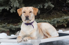 Tilia (Labrador Retriever) - Boot Camp Level II. Dog Training