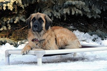 Tucker (Leonberger) - Boot Camp Level III. Dog Training
