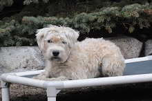 Winnie (Wheaten Terrier) - Boot Camp Level III. Dog Training