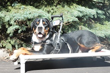 Zeke (Greater Swiss Mountain Dog) - Service Dog Training