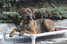 Ziggy (Presa Canario) - Boot Camp Level III. Dog Training