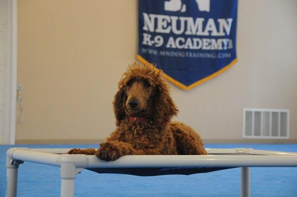 Azamat (Standard Poodle) - Boot Camp Level III. Dog Training