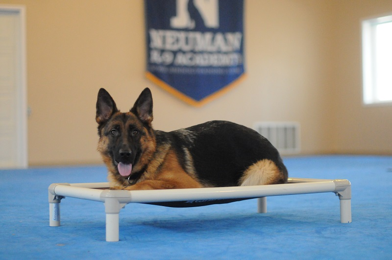 Bailey (German Shepherd) - Boot Camp Level III. Dog Training