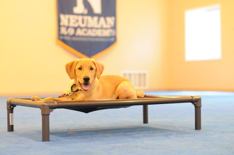 Beau (Labrador Retriever) - Boot Camp Dog Training