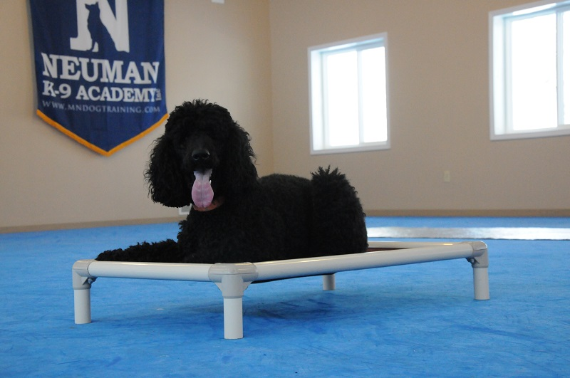 Beckett (Standard Poodle) - Boot Camp Level II. Dog Training